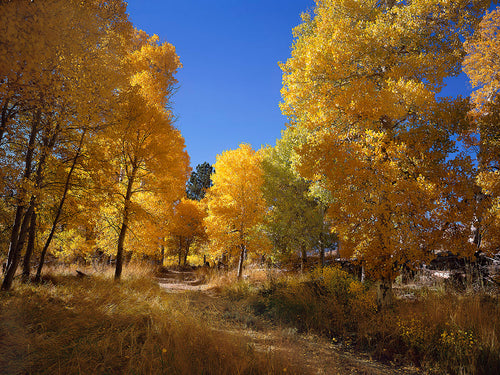 Parker Creek Aspens