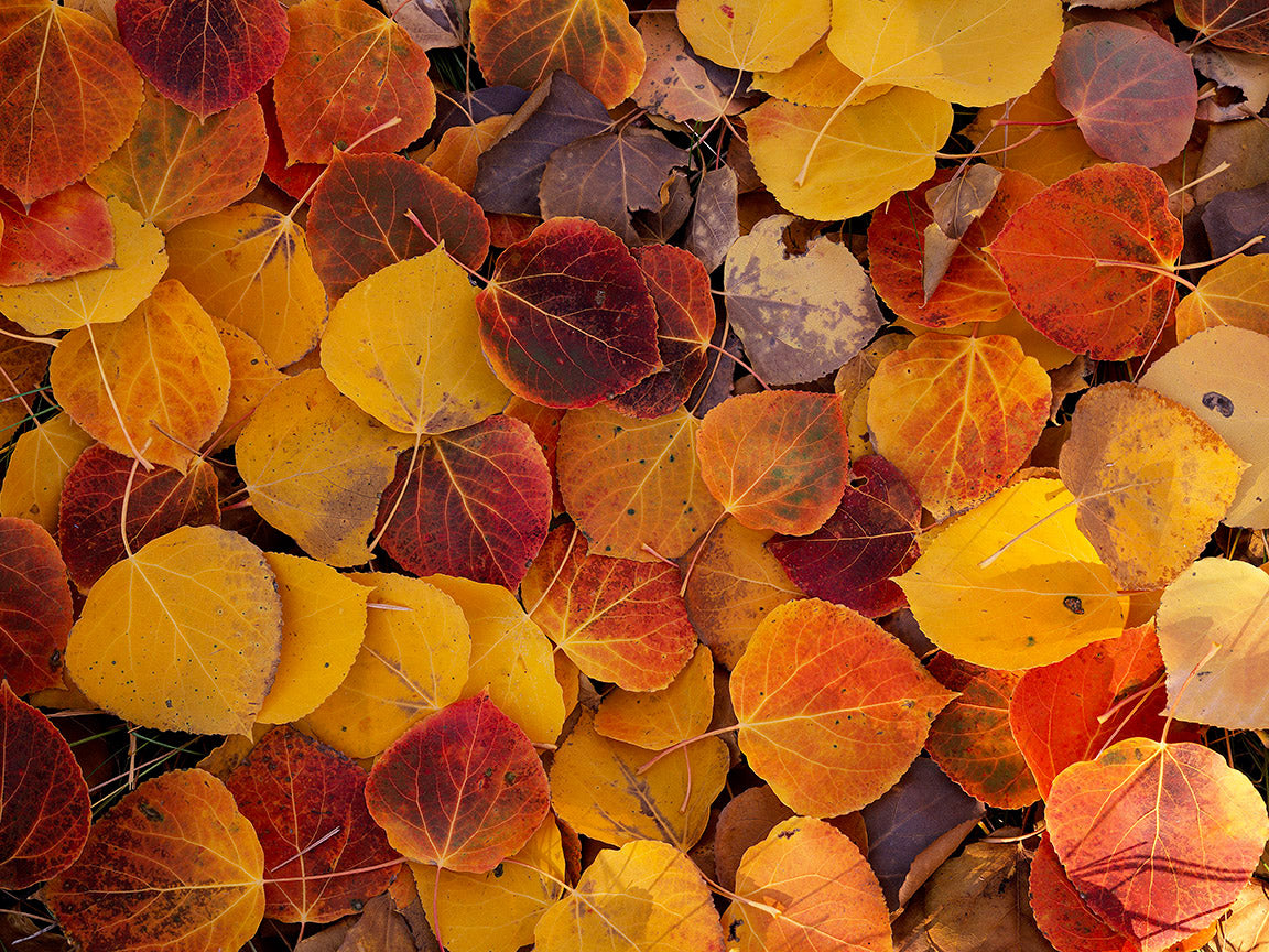 Aspen Leaves on the Forest Floor