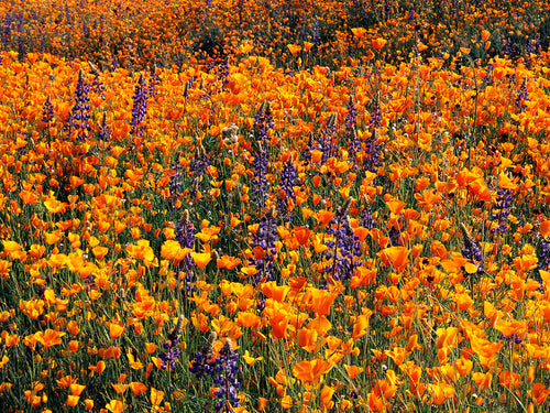 Poppies and Lupine