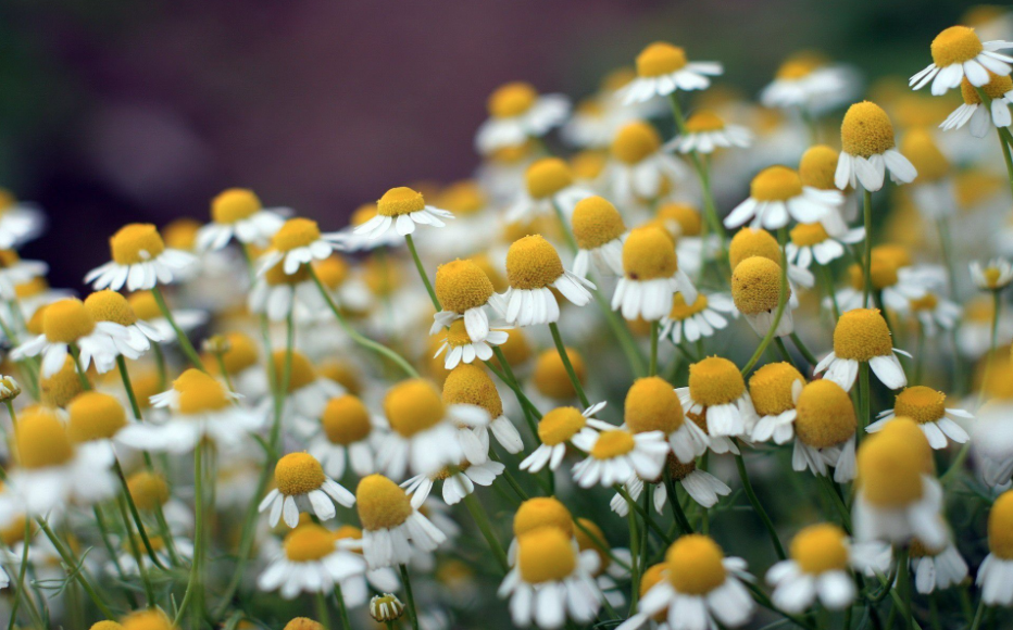 Keep Calm with Chamomile