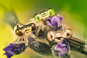 Three Musketries - Western Australia - Macro - 6002