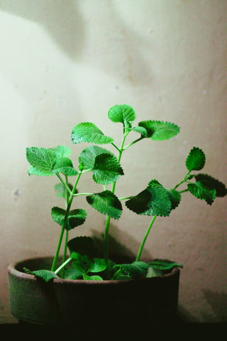 Oregano plant helps boost immune system functions