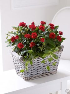 1 dozen Red Holland Roses in a Basket
