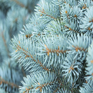 Blue Spruce - Scent-Centric