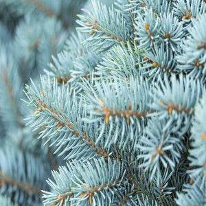 Blue Spruce, Christmas Eve, and Nibbling House - Scent-Centric