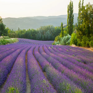 Fields of Lavender - Scent-Centric