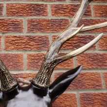 Load image into Gallery viewer, Large Stag Head Wall Bust close up of antler.