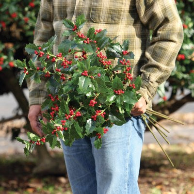 English Holly Stem