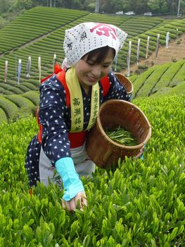 Harvesting shincha