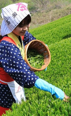Japanese green tea shincha picker