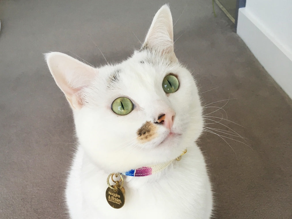Should Indoor Cats Wear Collars & ID Tags