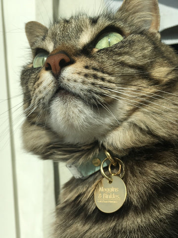 Noggins wearing his pastel mint green vegan cork 'leather' breakaway safety cat collar and engraved brass cat ID tag