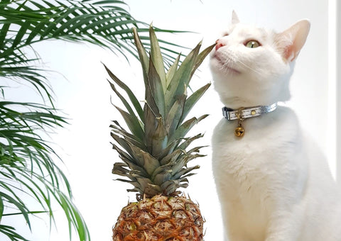 Pinatex vegan leather cat collar in silver on cat with pineapple