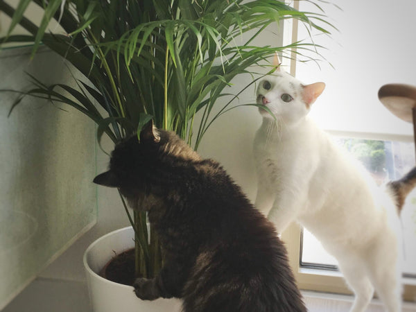 Palm tree is a safe houseplant for cats