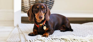 Miniature dachshund wearing a luxury orange vegan cork 'leather' dog collar with solid brass hardware