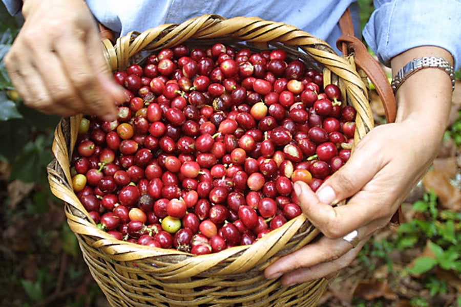 Big basket of coffee beans