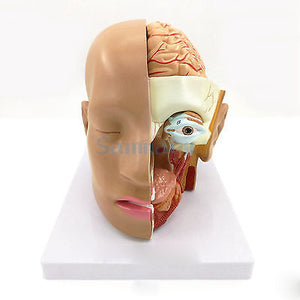 HOSM 4 Part Human Head Skull Brain Anatomy Anatomical Oral Nasopharyngeal Model Medical Science Lab School