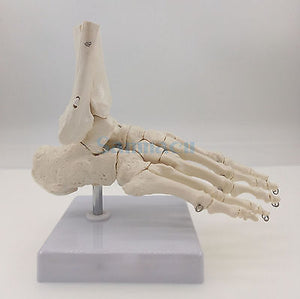HOSM Foot and Ankle Joint Functional Anatomical Skeleton Model Medical Display Teaching School Life Size