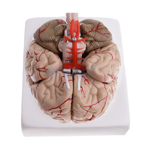 HOSM 1:1 Life Size Removable 9 Parts Human Cerebra with Arteries School Medical Teaching Model Lab Supplies