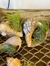 Shell with Air Plant