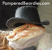 TOP HATS for your Bearded Dragon, Snakes, & Small Pets! Two sizes.
