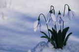 Needle felting felted snowdrops in the snow