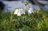 Needle felted snowdrops in grass sunshine