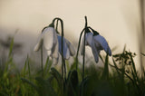 Needle felting snowdrops in grassy patch