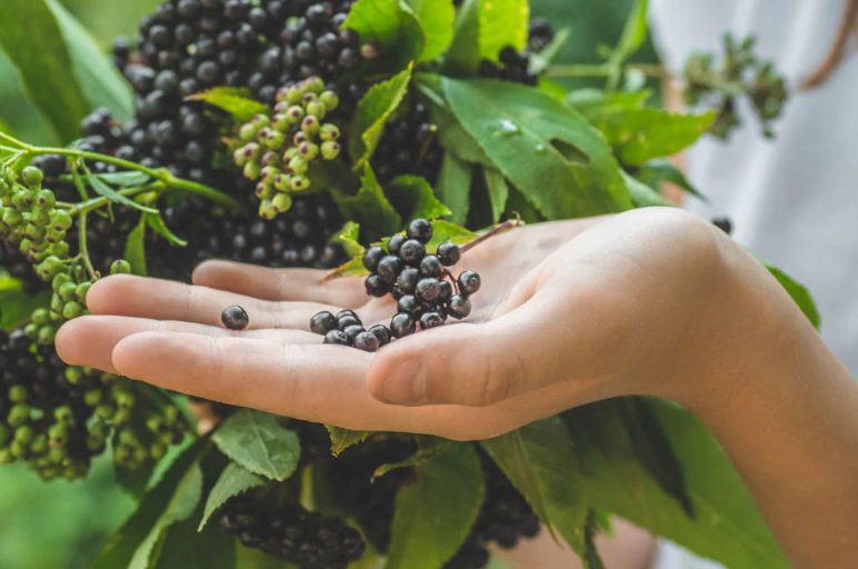 The Essential Guide to Black Elderberry: Benefits & Uses