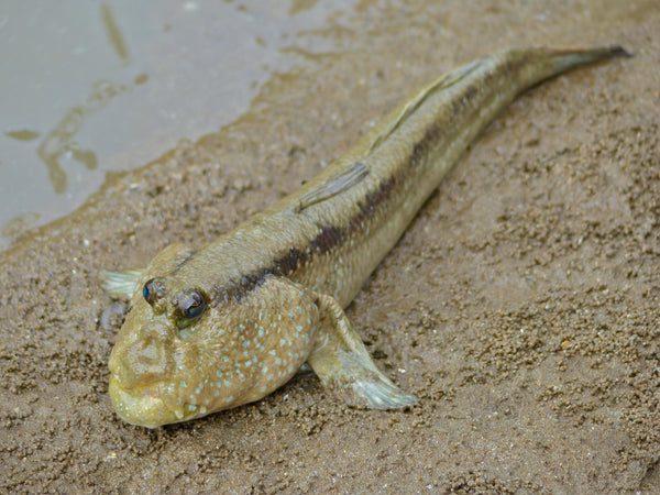 Giant Mudskipper