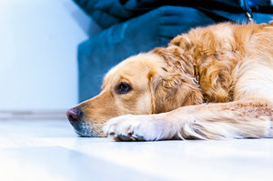 Sad Dog | Dog Arthritis | Petswelfare.eu