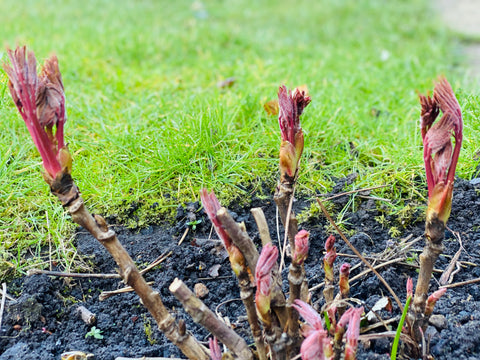 Tree Peony Sprouts