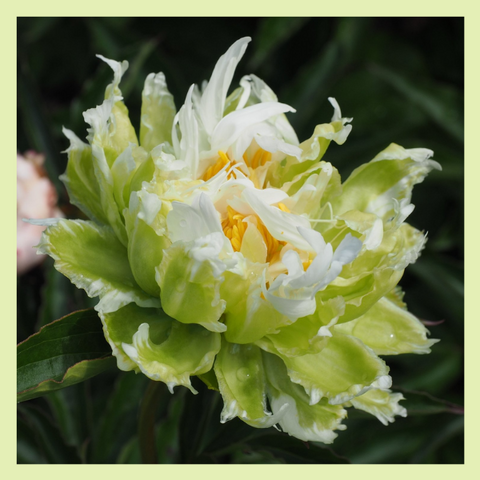 Peony of the Month - Green Lotus