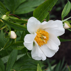Peony of the Month - March Early Windflower