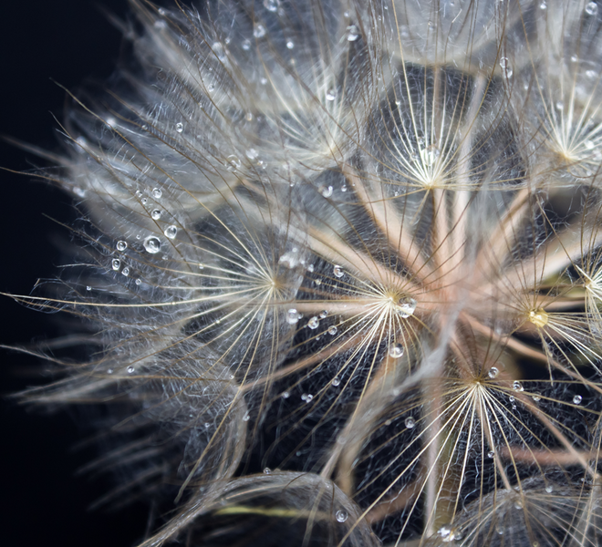 Dandelion Canvas Prints
