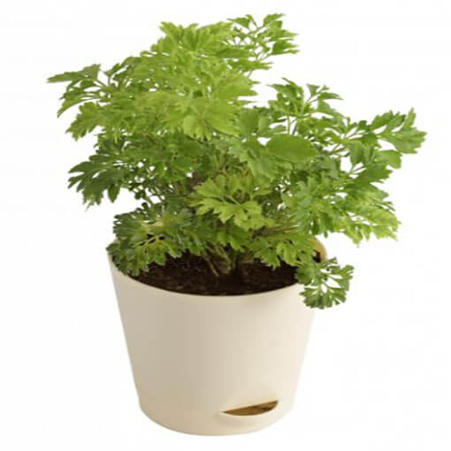 aralia-green-indoor-plant-cake-plaza