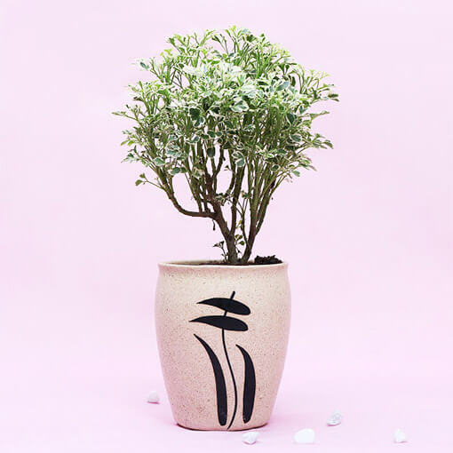 Aralia Variegated In White Designer Pot