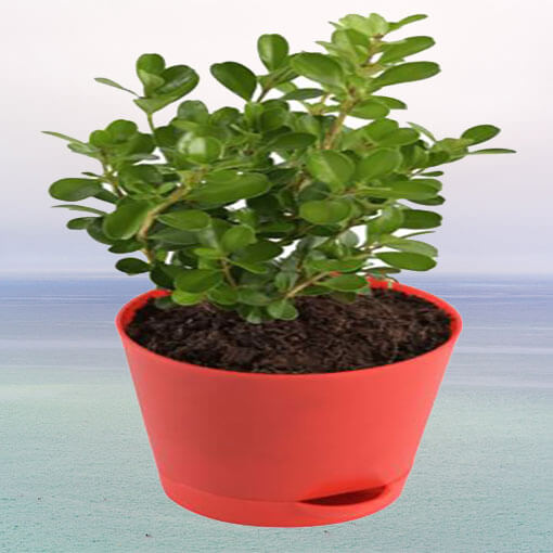 boxwood-box-indoor-plant-cake-plaza
