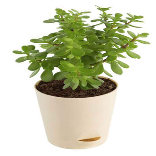 crassula-indoor-plant-in-a-small-white-color-pot