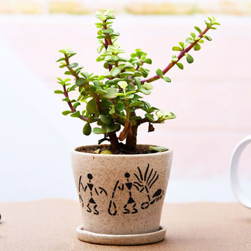 Enchanting Jade plant for Memorable Moments