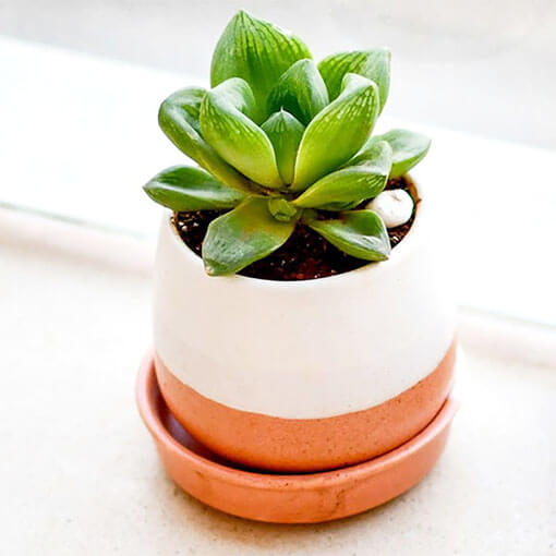 Glorious Haworthia in a Ceramic Pot