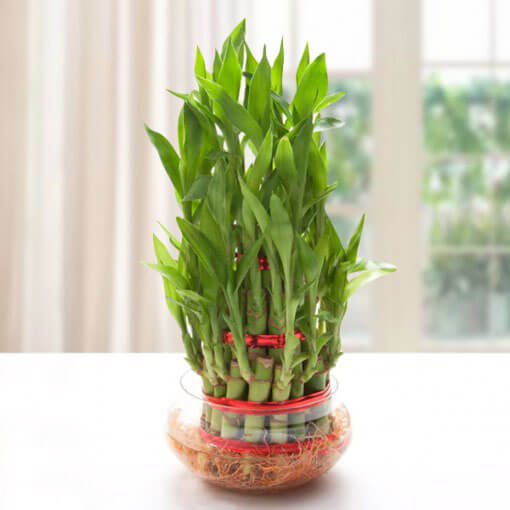 Good Luck Three Layer Bamboo Plant
