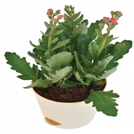 kalanchoe-flowering-pink-color-plant-cake-plaza