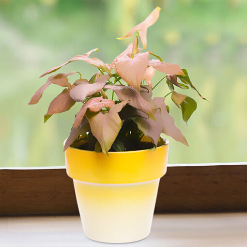 Ombre Yellow pink Syngonium