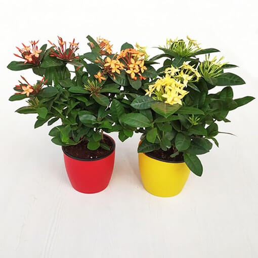 Pack of 2 Impressive Ixora