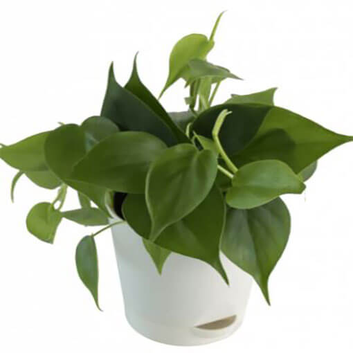 philodendron-oxycardium-small-green-indoor-plant-cake-plaza