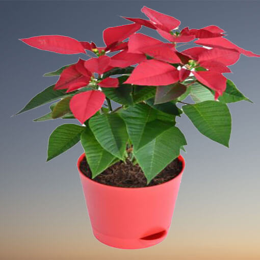 poinsettia-flowering-plant-cake-plaza