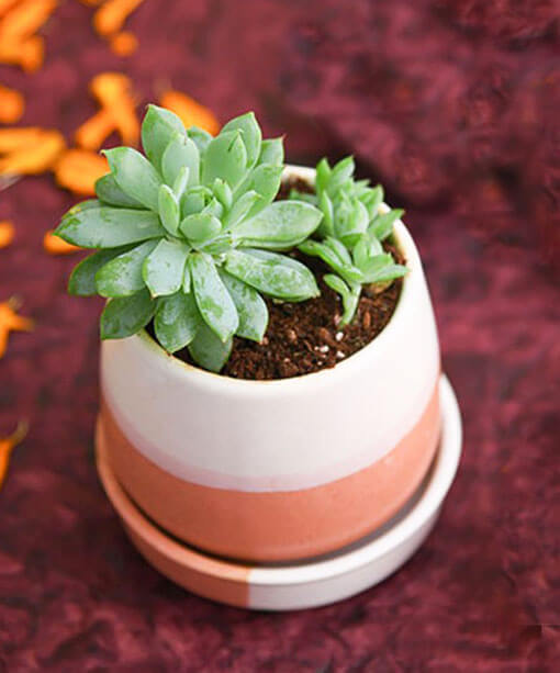 Prosperity Plant in Ceramic Pot