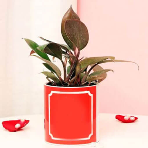 red-leo-philodendron-green-plant-cake-plaza