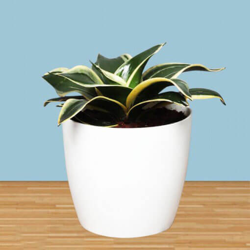 MILT Sansevieria Air Purifying Plant